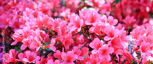 Montage in der Fensternische Azalee Pink azalea background.