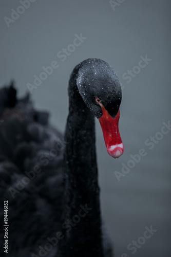 Staande foto Zwaan Black Swan