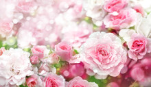 Blossoming Roses Flowers  Background.