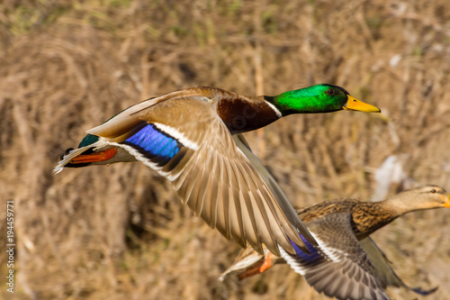 wild duck flies above the ground