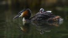 Great Crested Grebe Swimming W...