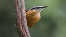 Eurasian Nuthatch Perching In ...