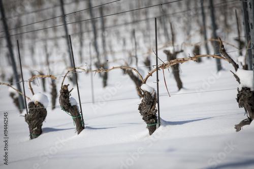 Fotografía  Weingarten im Winter an der südsteirischen Weinstrasse,Steiermark,Österreich