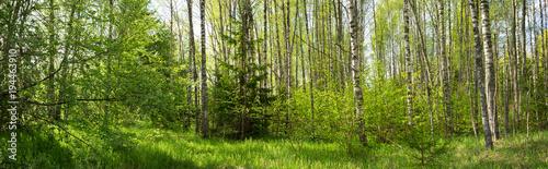 panorama-lasu-brzozowego-w-lecie-slonce-w-parku