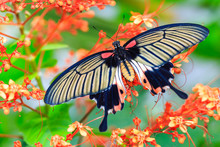 Female Great Mormon (Papilio M...