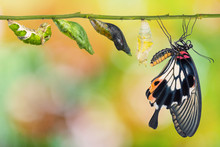 Female Great Mormon (Papilio Memnon) Butterfly Life Cycle