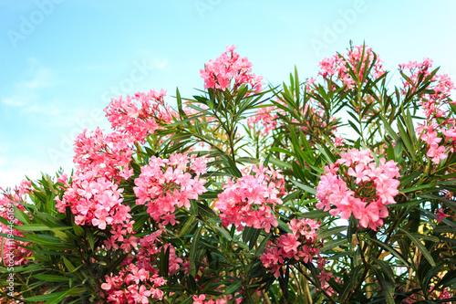 Foto op Canvas Bloemen pink flowering Bush with oleander flowers