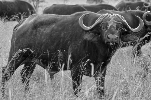 Fototapety, obrazy: A Buffalo in Manyeleti private game reserve bordering Kruger national park