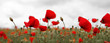 Poppies on gray sky background.