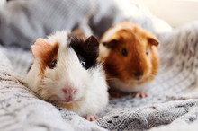 Two Guinea Pigs On The Woolen Blanket