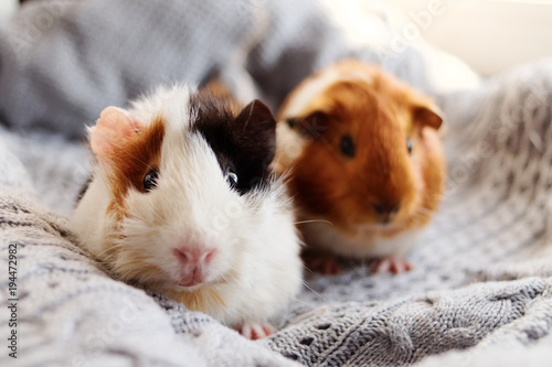 Fotomural  Two guinea pigs on the woolen blanket