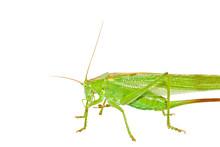 Insekt: Heuschrecke Grünes He...