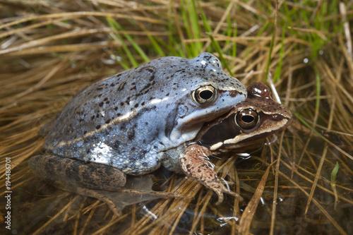 Moorfrosch (Rana arvalis) Pärchen - Moor frog