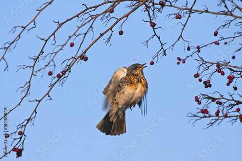 Flying fieldfare (Turdus pilaris) eat the hawthorn (Crataegus) Canvas Print