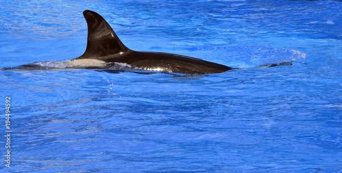 Killer whale Latin name orcinus orca