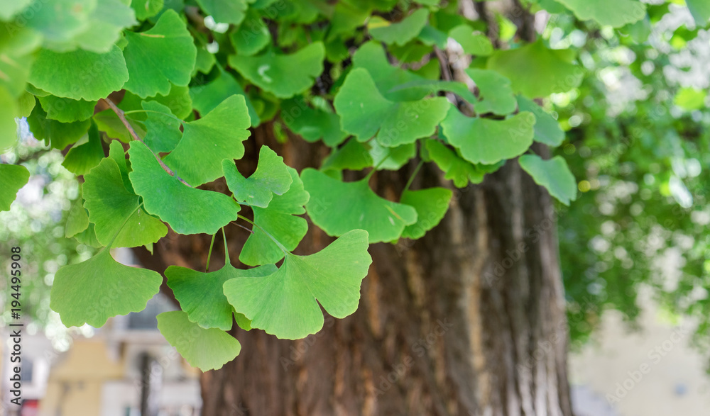 Ginkgo tree / Close-up of an old ginkgo tree in Verona, Italy