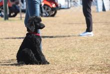 Black Poodle Puppy Sitting