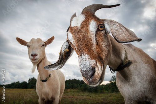 Two goats look at the camera Canvas Print