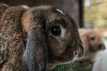 Head Of Adult Lop Rabbit.
