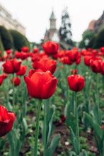 Red Tulips In City Square