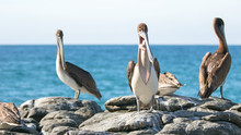 California Brown Pelican Inflating Air Sac To Display Tongue At Punta Lobos In Baja California Mexico BCS