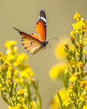 Flying Butterfly Plain Tiger B...