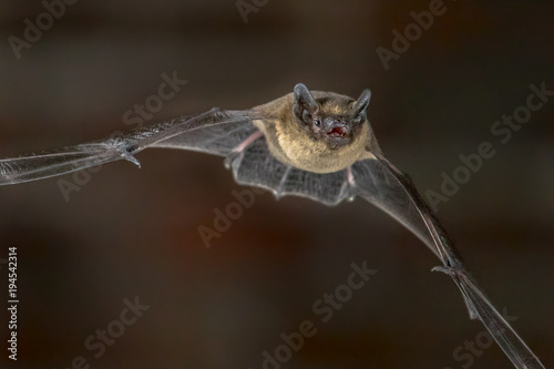 Close up of Flying Pipistrelle bat