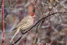 House Finch (Male) #2