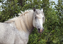 Portrait Of A Horse Of Breed T...
