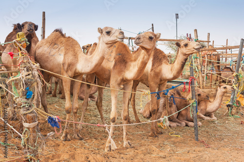 Camels at the Camel Market in Al Ain, UAE
