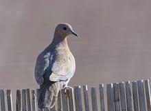Colorful Fat Laughling Dove Pe...