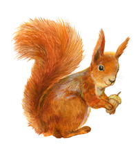 Squirrel And Acorn .Watercolor Illustration On White Isolated Background
