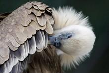 Close Up Of Griffon Vulture Cl...