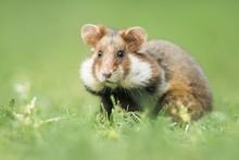 European Hamster (Cricetus Cricetus) In Meadow, Lower Austria, Austria, Europe