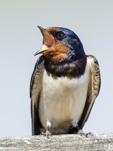 Close Up Of Barn Swallow With ...