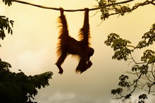 Bornean Orangutan Hanging On R...
