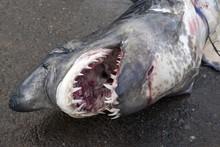 Longfin Mako Shark (Isurus Paucus) On Ground, Open Mouth With Sharp Teeth, Fish Market, Beruwela, Western Province, Sri Lanka, Asia