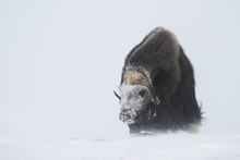 Muskox (Ovibos Moschatus) In A...