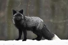 Silver Fox, Dark-black, Colour...