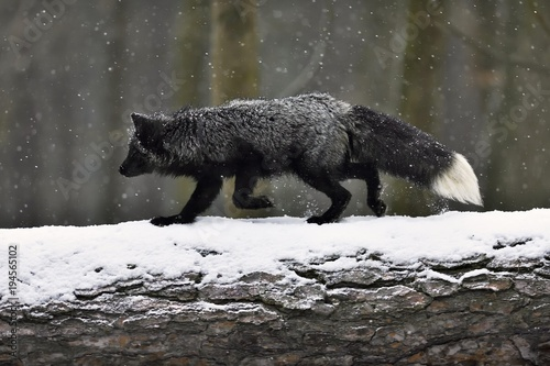 Silver fox, dark-black, colour variation of the Red fox (Vulpes vulpes), runs ov Poster