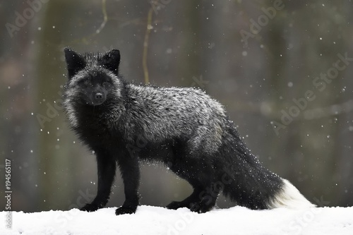 Silver fox, dark-black, colour variation of the Red fox (Vulpes vulpes), in snow Poster