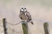 Short-eared Owl (Asio Flammeus...