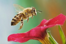 Western Or European Honey Bee ...