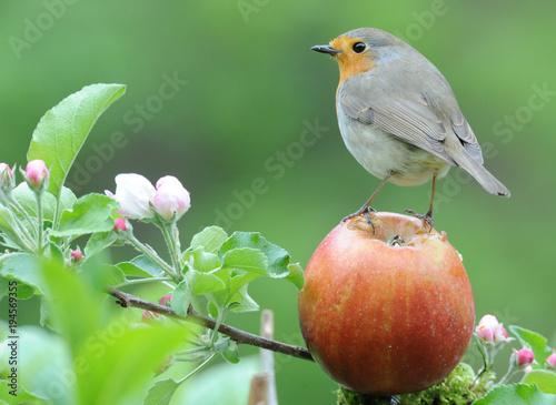 Fotografía Rotkehlchen auf Apfel