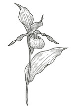 Lady's-slipper Orchid Flower Illustration, Drawing, Engraving, Ink, Line Art, Vector