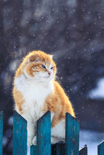 Funny Red Cat Sitting On The Street In The Early Spring On A Wooden Fence During A Snowfall