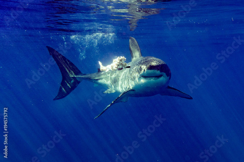 Great White shark attacks tuna blood in water Canvas Print