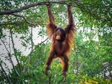 The Orangutan Is Playing On The Tree.