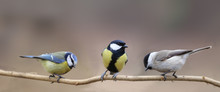 Three Species Of Tits, Three Small Birds On One Thin Branch