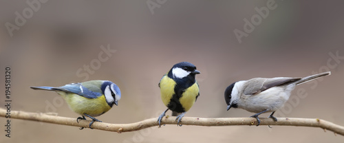 Photo sur Toile Oiseau Three species of tits, three small birds on one thin branch